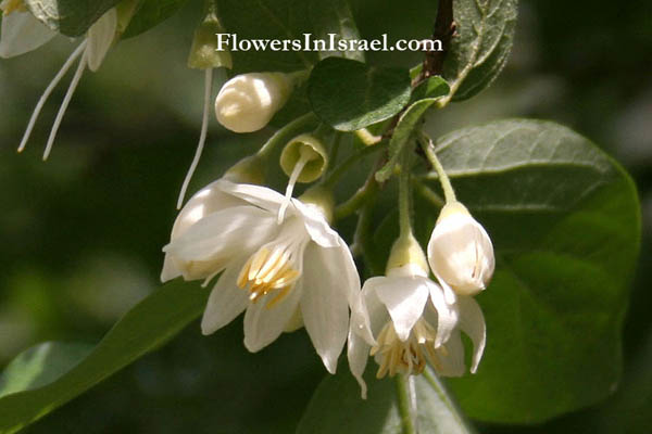 Plants Of The Bible Styrax Officinalis