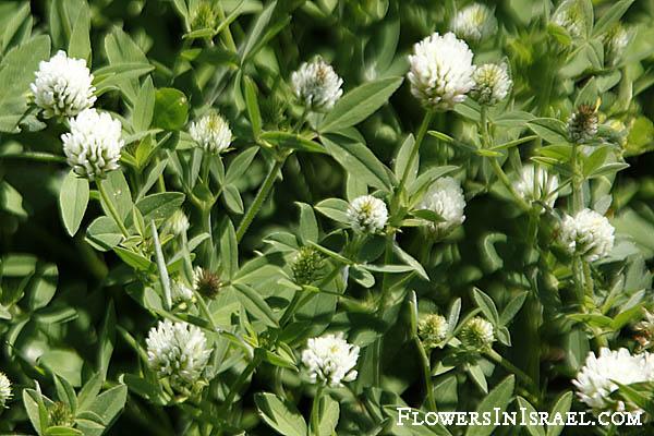 Trifolium Alexandrinum [2]