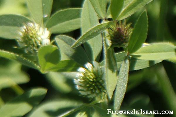 Trifolium alexandrinum (Egyptian clover)