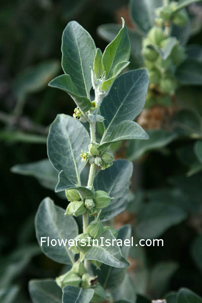 Native plants of Palestine